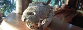 Animal Skull on hotel counter