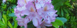 Pink (or lavender) flower