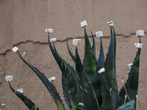 Picture of spikey cactus plant with styrofoam blocks on its tips